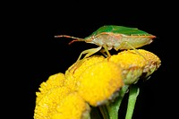 Macro of a green bug on yellow flower on black background