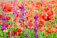 Summer field with beautiful red poppy and purple flowers nature background.