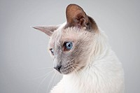 Blue Point Siamese Cat posing on gray background _ Profile Portrait
