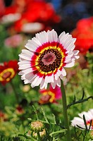 Painted daisy, tricolor daisy Chrysanthemum carinatum, blossom, garden plant, North Rhine_Westphalia, Germany, Europe