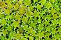 Peat Moss, Sphagnum, Goldenstedter Moor, Lower Saxony, Germany / Torfmoos, Sphagnum, Goldenstedter Moor, Niedersachsen, Deutschland