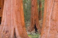 Sequoia Sequoia sempervirens trunks at Grant Grove, Kings Canyon National Park, California