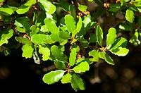 Oak leaves along Vernal Pool Trail, Santa Rosa Plateau Ecological Preserve, California