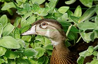 Male Wood Duck with Leaves