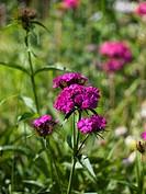 Garden plants. A carnation.