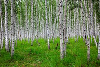 the birch of a forest.