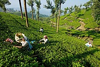 Tea plantation, Munnar, Kerala, India.