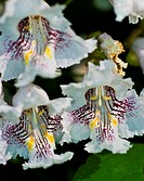 Flowers of Catalpa