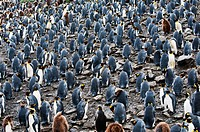 Colony of king penguins with their fledglings.
