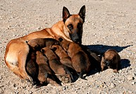 belgian shepherd and puppies