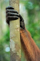 Hand of an Orang Utan Pongo pygmaeus, Tanjung Puting National Park, Province Kalimantan, Borneo, Indonesia