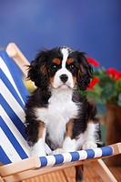 Cavalier King Charles Spaniel, puppy, tricolor, 3 months, male / deckchair