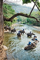 Elephants, Chiang Mai Province, Thailand.