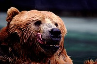 Wet grizzly licking his lips
