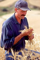 Farmer Examining Wheat Grains