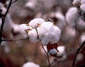 Close Up of Cotton Plant