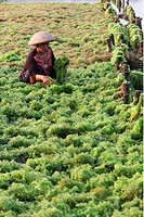 Die Landschaft in den Seegras Plantagen von Jungutbatu auf der Insel Lembongan suedoestlich von Bali im Indischen Ozean.
