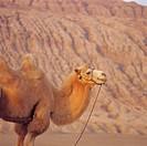 Camel in Xinjiang Uygur Autonomour Region