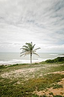 Palm tree, Praia do Amor, Pipa, Rio Grande do Norte, Brazil