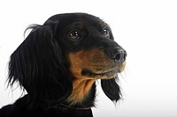 Long_haired Dachshund Canis lupus familiaris. Portrait of black and tan individual, seen against a white background