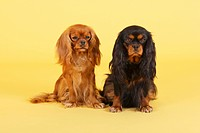Cavalier King Charles Spaniel. Pair sitting. Studio picture against a yellow background
