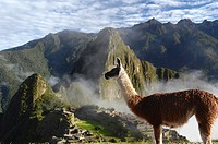 Llama (Lama glama) at the Inca ruins of Machu Picchu in the Andes, UNESCO World Heritage Site, Urubamba Valley, near Cusco, Cuzco, Peru, South America