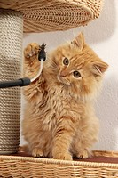 Domestic Cat. Kitten sitting on a scratching pole while paeing a toy