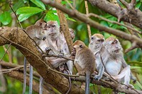 Family of long_tailed macaques on tree, Sukau, Sabah, Malaysia. The Kinabatangan River area is popular as an eco_tourism site to see wildlife of the t...