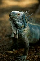 Though normally hunted for food, the common iguana is protected within this national park.