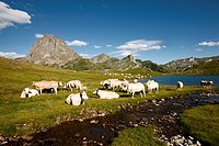 Herd of cattle at lake Lac Roumassot, Pic du Midi d´Ossau in background, Ossau Valley, French Pyrenees, Pyrenees_Atlantiques, Aquitaine, France