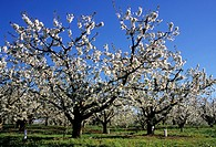 Cherry orchard in bloom, Yakima County, Washington