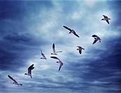Bonaparte´s Gulls