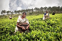 Tamil tea pickers pluck tea leaves at plantation, tea production estate, Haputale, Hill Country Sri Lanka
