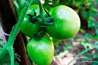 Tomato, fruit, unripe, cultivation, rural, Brazil