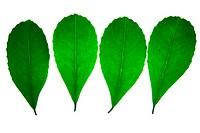 Leaf, plant, botanic, foliage, Brazil