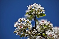Pears, pear, pear tree, pear tree, pear flowers, fruit_tree, fruit, fruit flowers, farming, flowers, flowers, white, spring