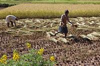 Reisernte, Landwirtschaft, Madagaskar, Afrika