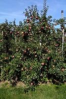 Apfelplantage mit reifen Fruechten der Sorte Jonagold im Obstanbaugebiet Nonnenhorn am Bodensee. Apple plantation with Jonagold apples at Lake Constan...