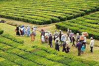 Group of workers dressed in traditional garmentes heading for work in the tea gardens of Porto Formoso, Azores islands
