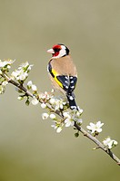 Garden birds, Goldfinch, carduelis carduelis, perched on Blackthorn Blossom, Norfolk, UK, April