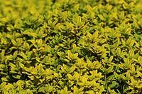 Thyme, Thymus x citriodorus ´Aurea´, Golden Lemon thyme.
