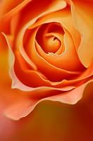 Rose, Rosa ´Peace´.