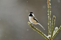 Black capped chickadee Poecile atricapillus, Greater Sudbury Lively, Ontario, Canada