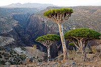 Dragon´s Blood Tree Dracaena cinnabari, endemic to island, Diksam Plateau, central Socotra Island, listed as World Heritage by UNESCO, Aden Governorat...
