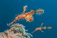 Ornate ghost pipefish (Solenostomus paradoxus), Great Barrier Reef, a UNESCO World Heritage Site, Queensland, Cairns, Australia, Pacific Ocean