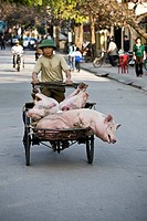 Pigs being transported by a bicycle rickshaw, Ninh Binh, Dry Halong Bay, Vietnam, Southeast Asia, Asia