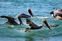 pelican taking off, California