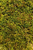 Detail of green moss