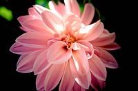 Pink Dahlia, close_up