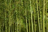 Bamboo, Phyllostachys vivax.